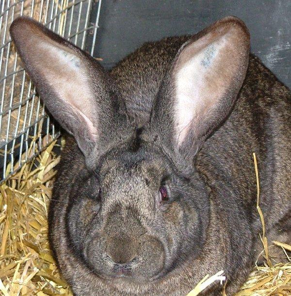 hvor gamle bliver dværg kaniner